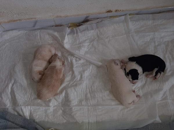 BAMBI (ex-CREMINO), identifié 788.269.100.004.845, jeune mâle - sable et blanc Maestr33