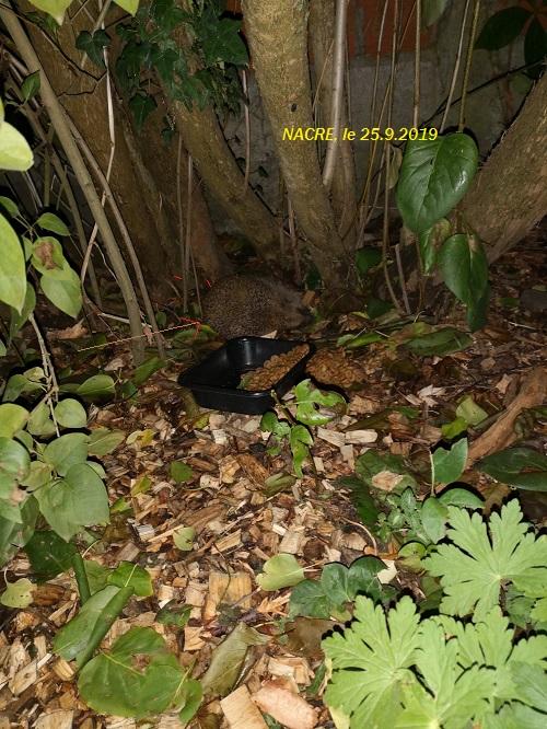 NACRE, hérisson femelle sénior, en soin au sanctuaire Nacre_10