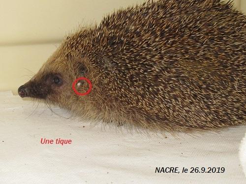 NACRE, hérisson femelle sénior, en soin au sanctuaire Nacre_17