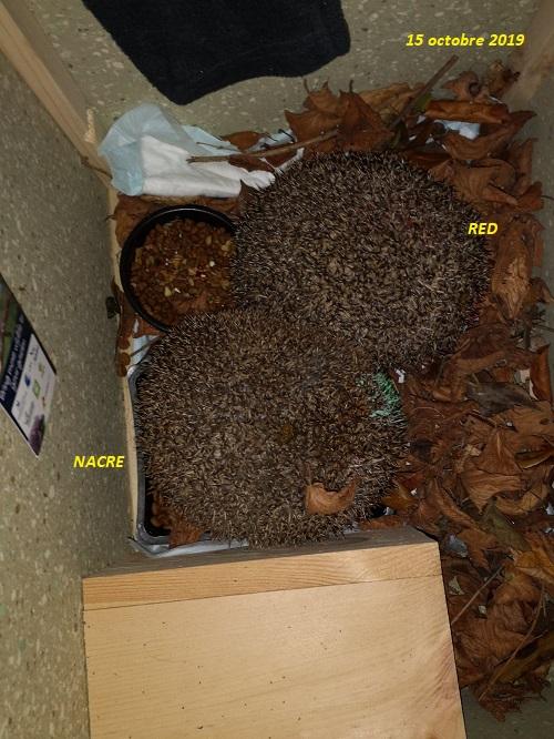 NACRE, hérisson femelle sénior, en soin au sanctuaire Nacre_18