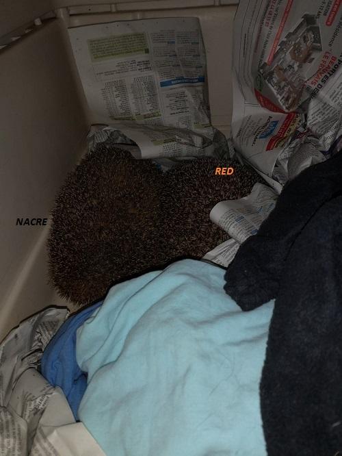 NACRE, hérisson femelle sénior, en soin au sanctuaire Red_et10