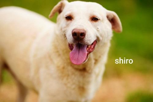 SHIRO, identifié 788.269.100.006.068, en pension dpt 78 Shiro_13