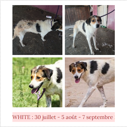 WHITE, identifiée 941.000.016.728.947, en pension en Normandie : réservée White_10