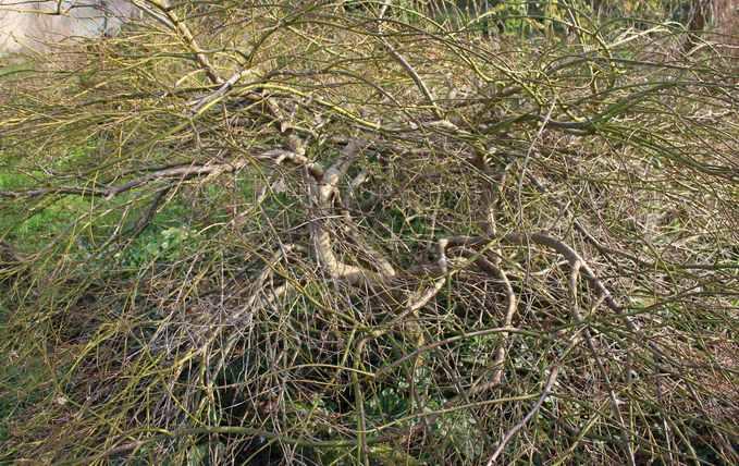 Acer palmatum 'Dissectum' !!! - Page 3 03022010