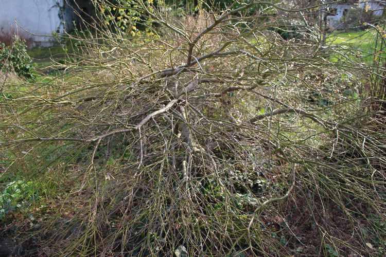 Acer palmatum 'Dissectum' !!! - Page 3 03022011