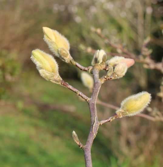 Magnolia stellata !!! 03022012