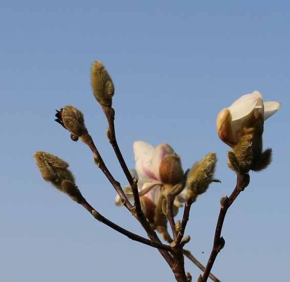 Magnolia stellata !!! 03022014