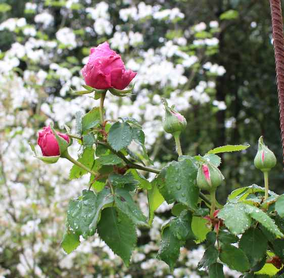 Rosa 'Mme Isaac Péreire' !!! - Page 2 12042015