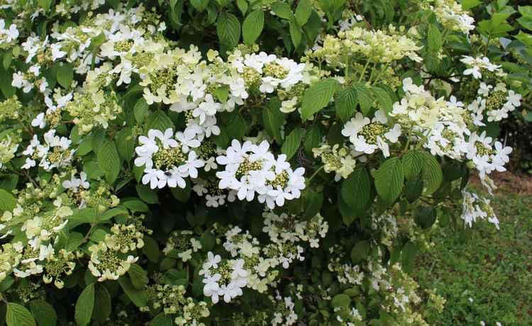Viburnum plicatum 'Watanabe' !!! - Page 5 13042011