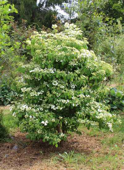 Viburnum plicatum 'Watanabe' !!! - Page 5 13042012