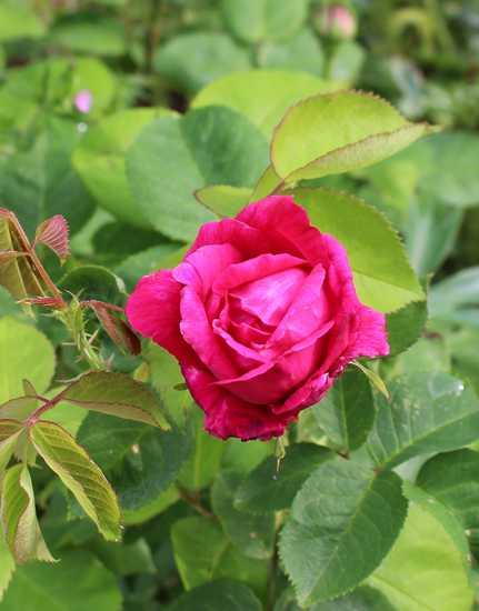 Rosa 'St-Médard' !!! - Page 4 18042017