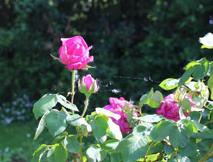 Rosa 'Mme Isaac Péreire' !!! - Page 2 25042018