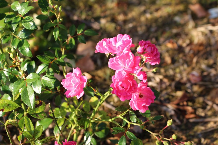 Rosa Fairy Rood !!! - Page 2 25072017