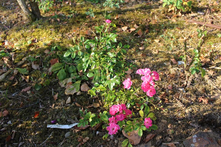 Rosa Fairy Rood !!! - Page 2 25072018