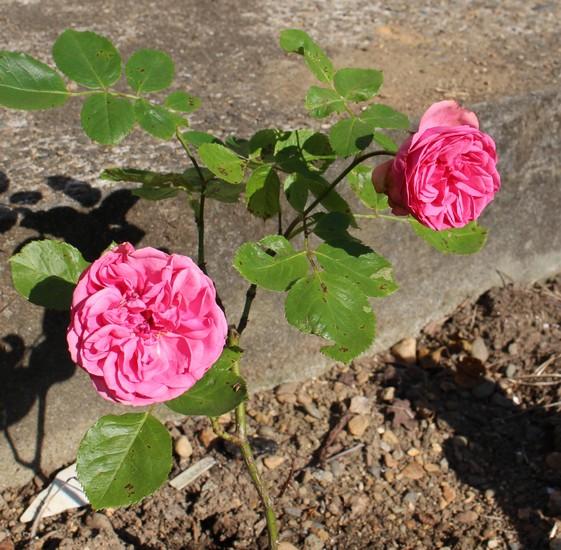 Rosa 'Souvenir de Baden Baden' 31052012