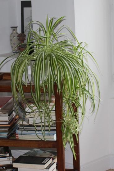 Chlorophytum !!! Chloro10