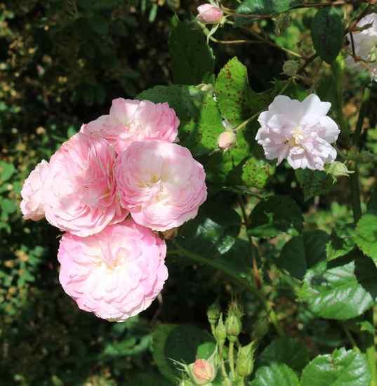 Rosa 'Bouquet Parfait' !!! - Page 11 Img_5020
