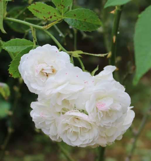 Rosa 'Bouquet Parfait' !!! - Page 11 Img_6114