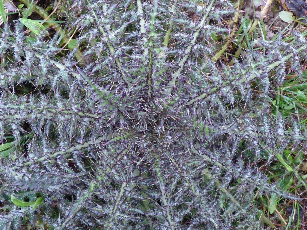 Du cirse (Cirsium vulgare) Cirsiu10