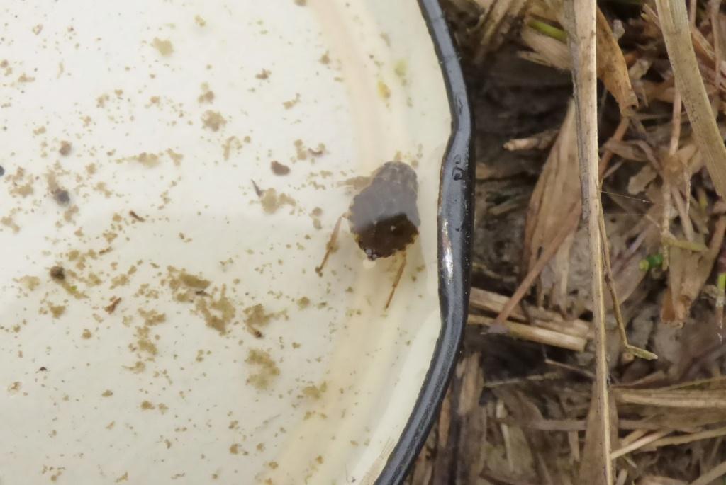 [Notonecta glauca_Naucoris maculatus] Notonecte :  Notonecta glauca Naucor10