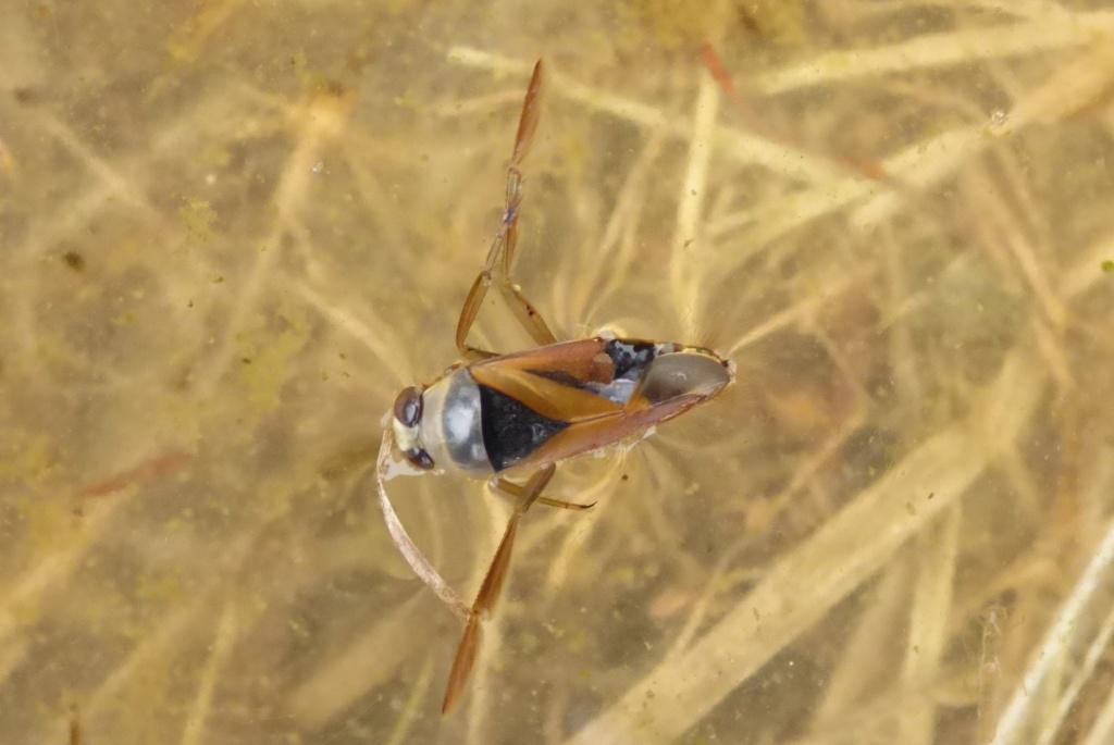 [Notonecta glauca_Naucoris maculatus] Notonecte :  Notonecta glauca Notone10