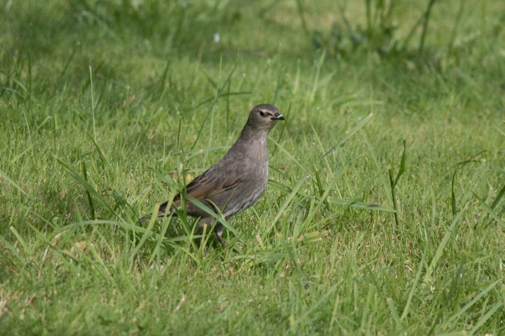 oiseau sp : Etourneau juvénile Oiseau10