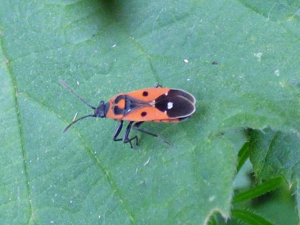 [Pyrrhocoris apterus_Melanocoryphus albomaculatus_Lygaeus sp_Corizus hyoscyami] Punaises rouges et noires  P1210811