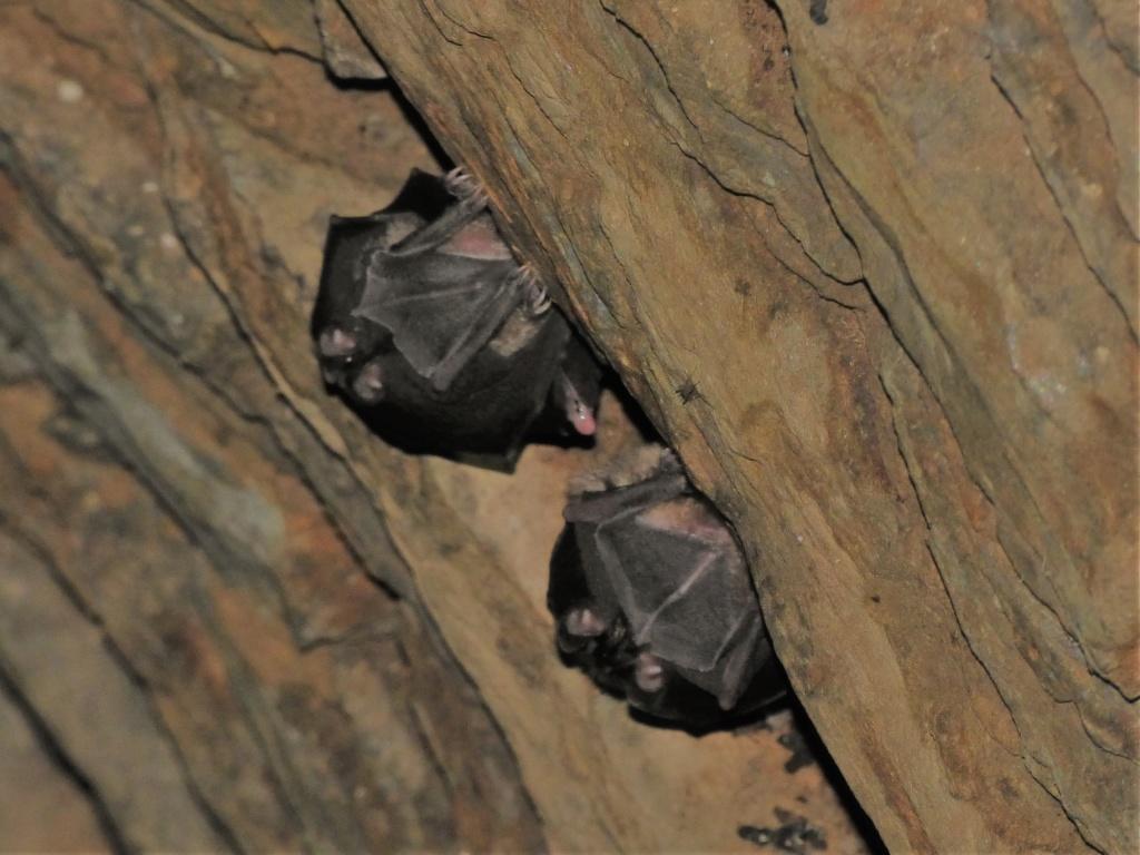 Rhinolophe dans les puits Puits_10