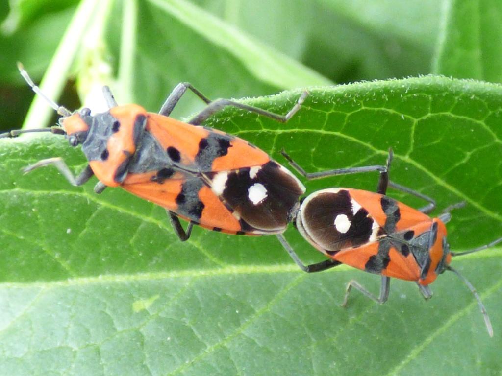 [Pyrrhocoris apterus_Melanocoryphus albomaculatus_Lygaeus sp_Corizus hyoscyami] Punaises rouges et noires  Punais10