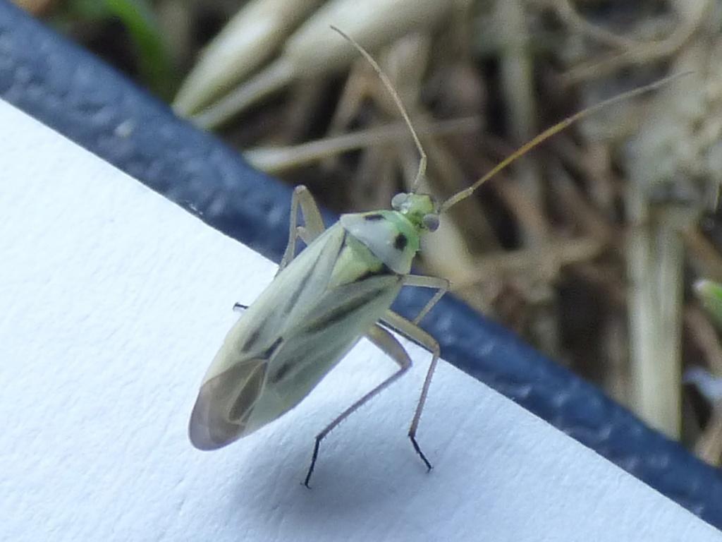 [Deraeocoris ruber_Stenotus binotatus] deux espèces de Josselin  Punais12
