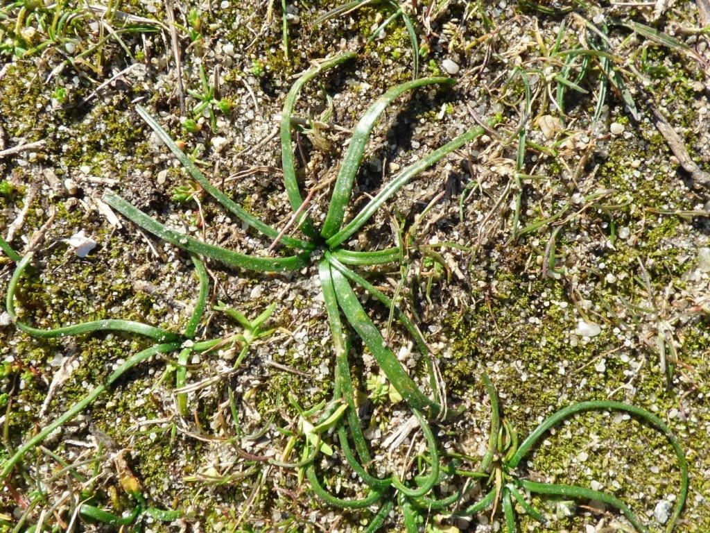Isoetes histrix et Scilla autumnalis Scilla11