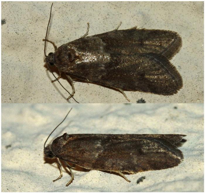 Nocturnes de février [Phigalia pilosaria; Tortricodes alternella] 2_redi10