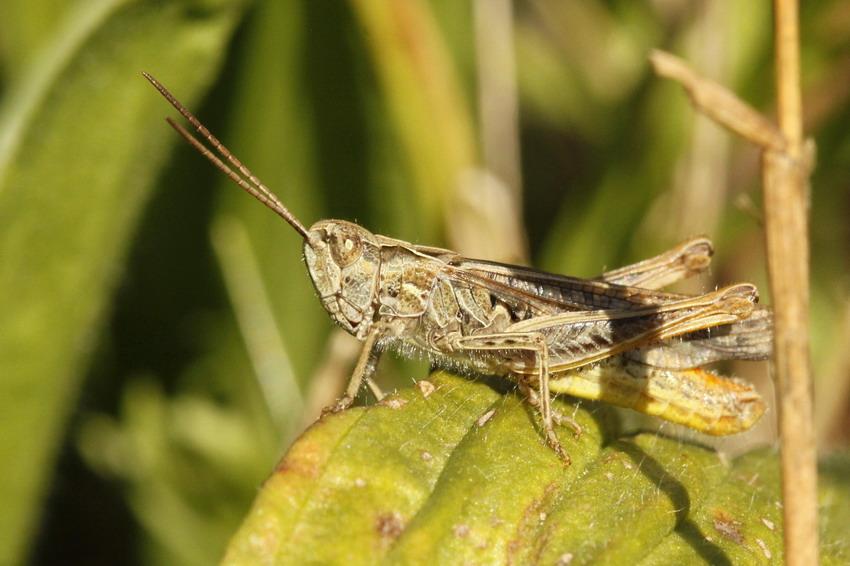 [Chorthippus biguttulus] Encore un Acrididae Acridi11