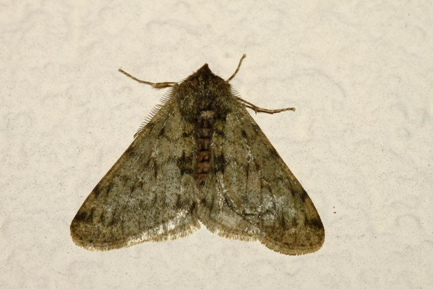 Nocturnes de février [Phigalia pilosaria; Tortricodes alternella] Geomet23