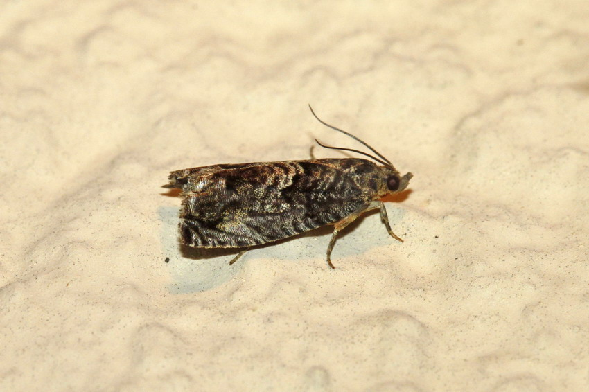 Tortricidae-Cydia ? Tortri12