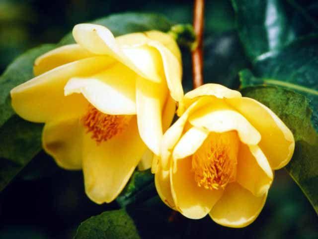 Quelqu'un pourrait-il me traduire cette phrase en anglais concernant des camellias jaunes au Vietnam 1_c_fl10