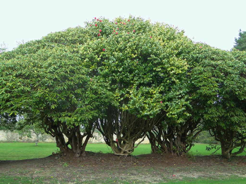 Camellia - choix & conseils de culture - Page 3 2_dsc010