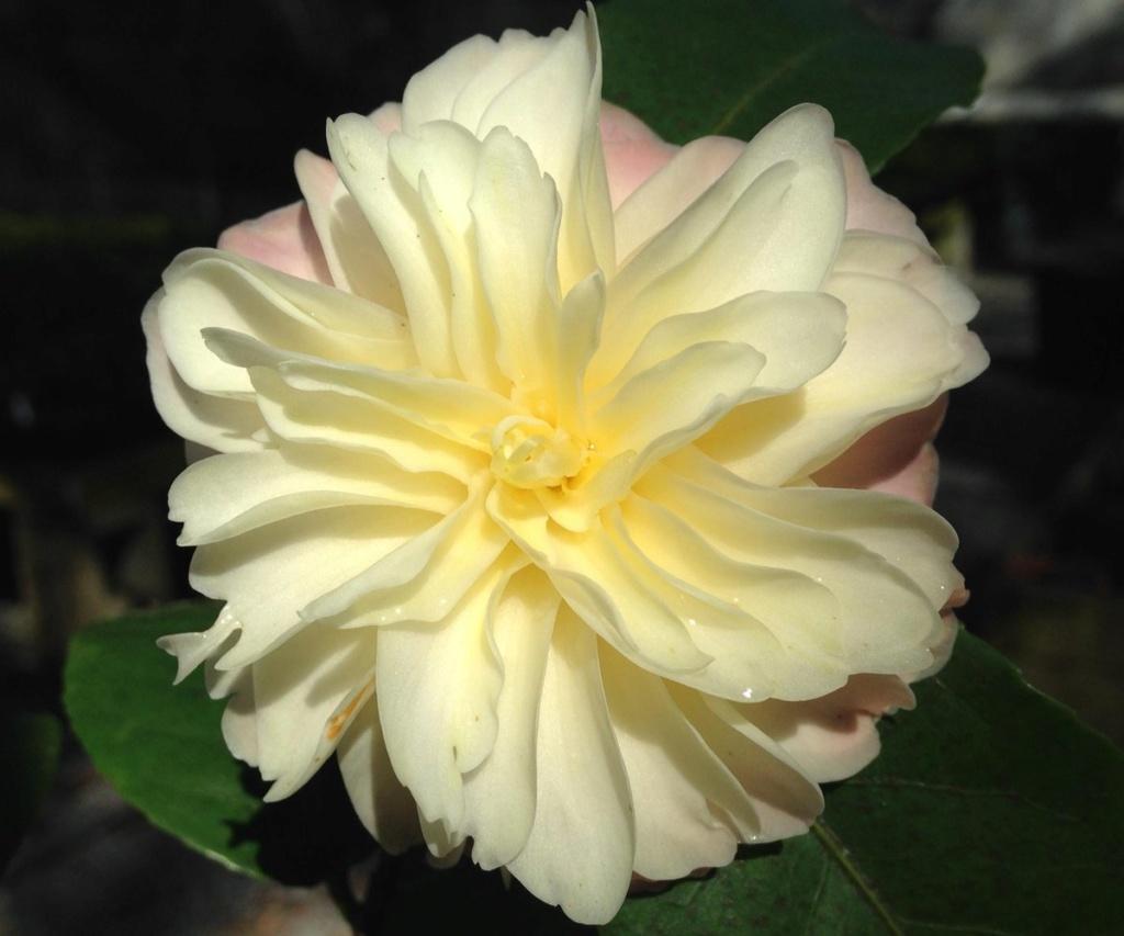 Quelqu'un pourrait-il me traduire cette phrase en anglais concernant des camellias jaunes au Vietnam 3_c_op10