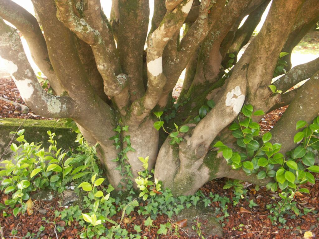 Camellia - choix & conseils de culture - Page 3 4_vieu10