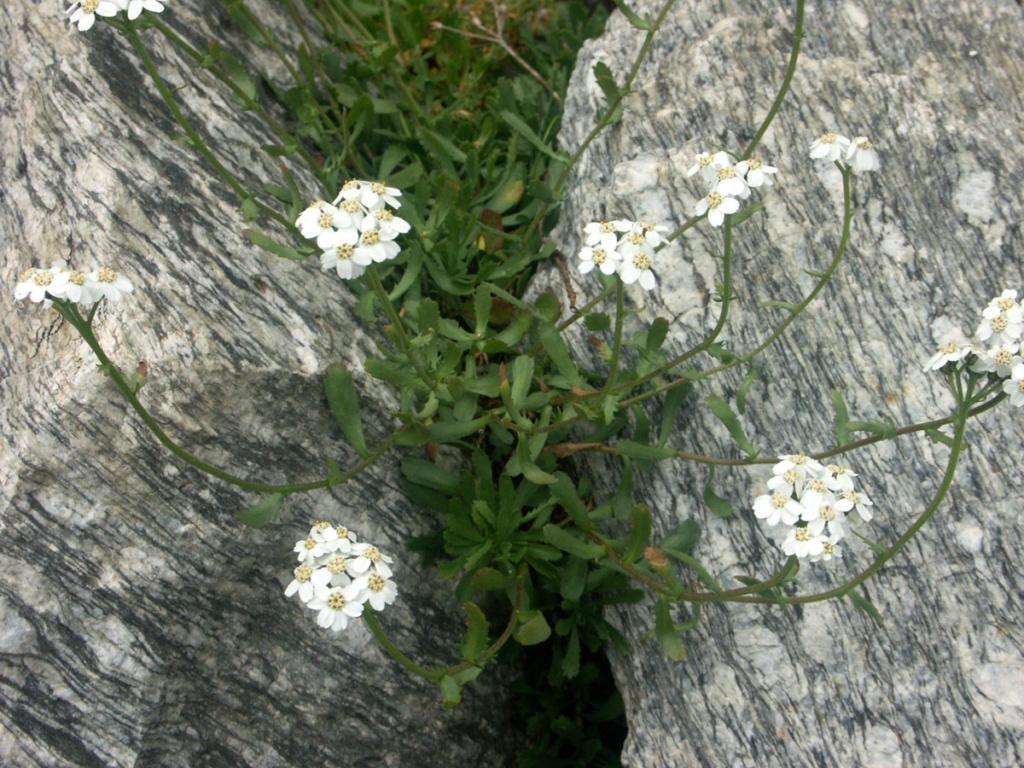 flore des vieux murs, rochers  et rocailles naturelles - Page 9 Achill10