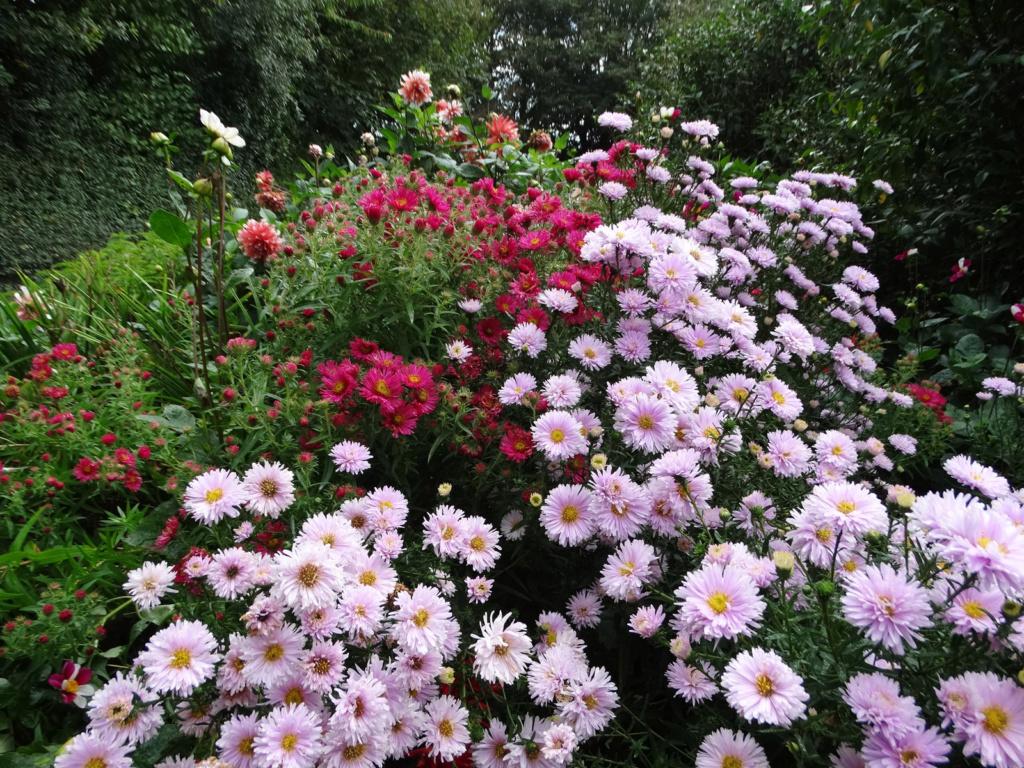 Dernières fleurs d'été, premiers feux d'automne Aster_13