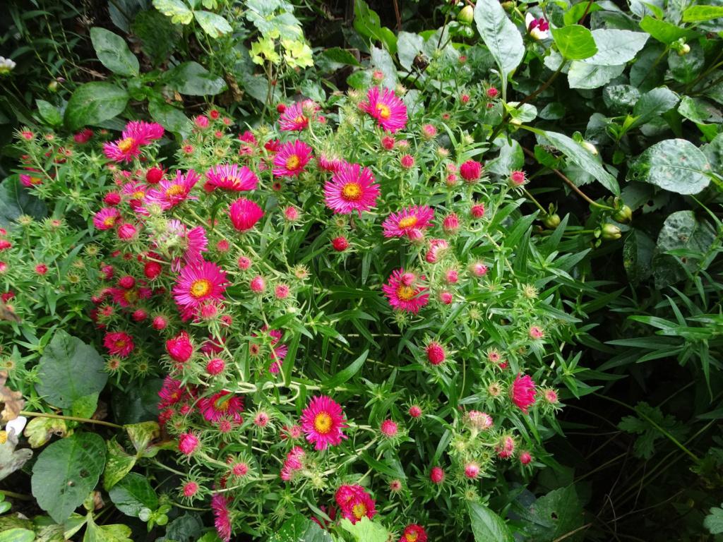 Dernières fleurs d'été, premiers feux d'automne Aster_14