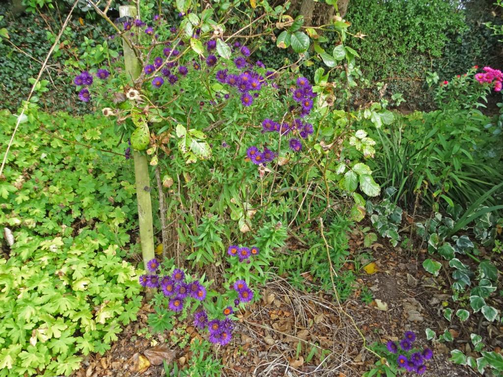 Dernières fleurs d'été, premiers feux d'automne Aster_15