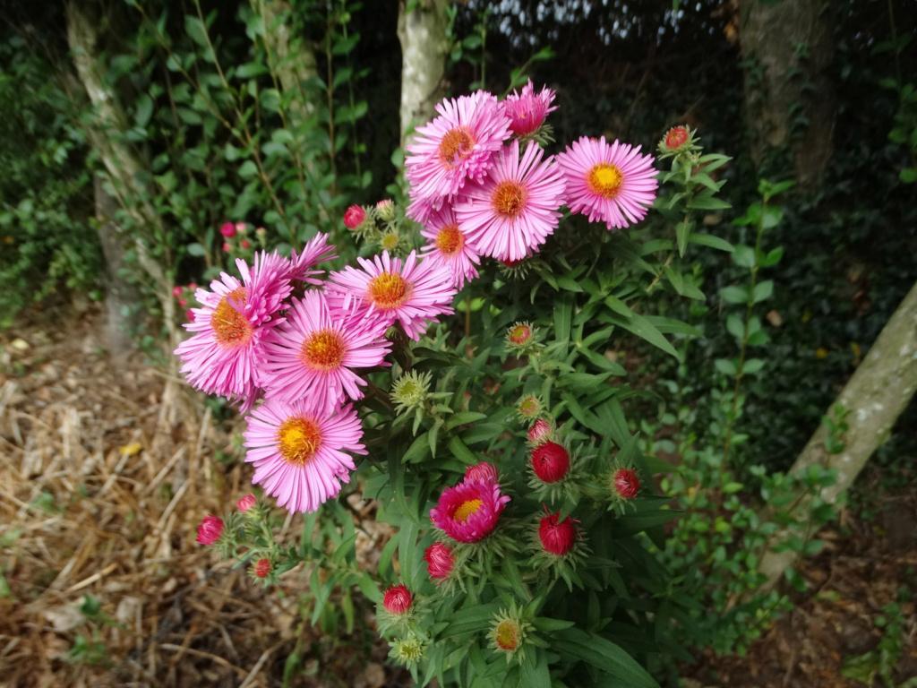 Dernières fleurs d'été, premiers feux d'automne Aster_16