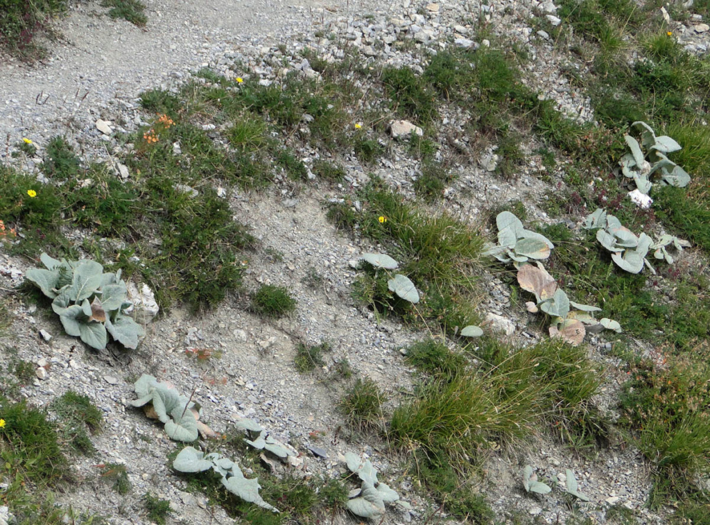 Berardia lanuginosa (= Berardia subacaulis) - bérardie Berard12