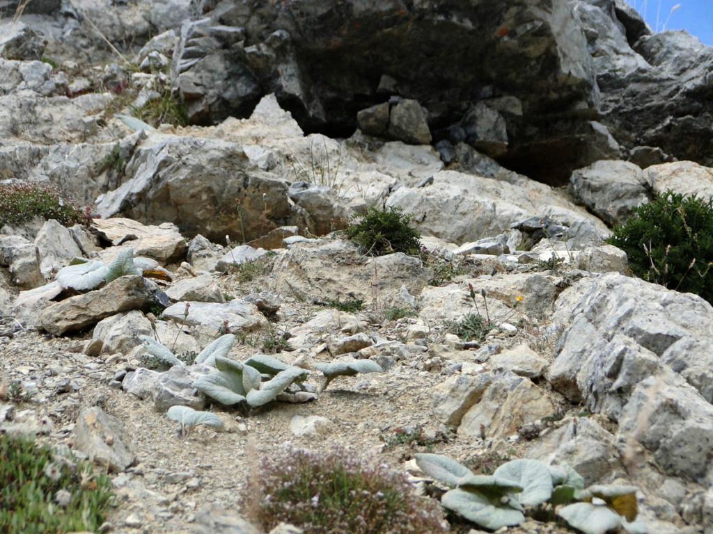 Berardia lanuginosa (= Berardia subacaulis) - bérardie Berard15