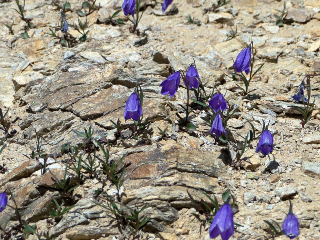 flore des vieux murs, rochers  et rocailles naturelles - Page 8 Campan11