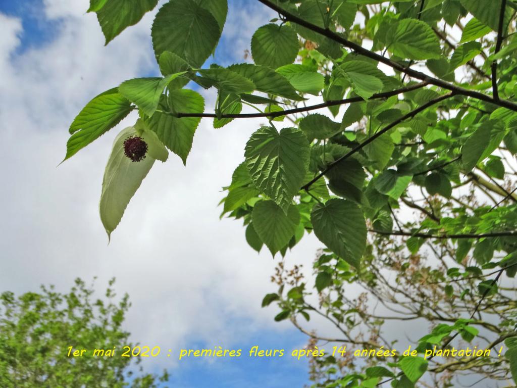 Davidia involucrata - arbre aux mouchoirs  Davidi11