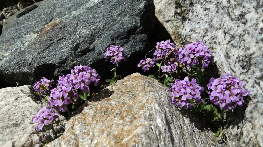 flore des vieux murs, rochers  et rocailles naturelles - Page 9 Dsc00414