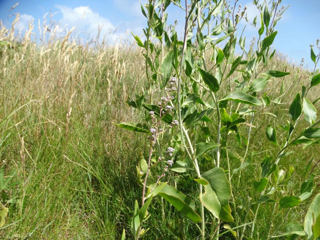 Lepidium latifolium - grande passerage Dsc00510